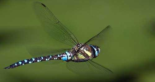 dragonflies eat mosquitoes