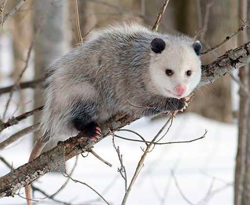 opossum eats ticks