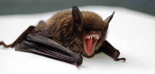 bats eat mosquitoes